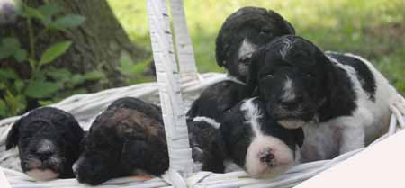 Tawny and Trey's Litter – Partis and Brindle Partis