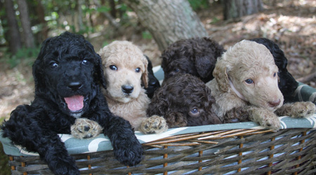 Honey and Toby's Litter – Creams, Blacks, and Cafe Au Laits