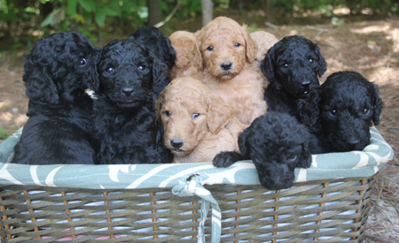 Kenzie and Clifford's Litter – Blacks and Apricots