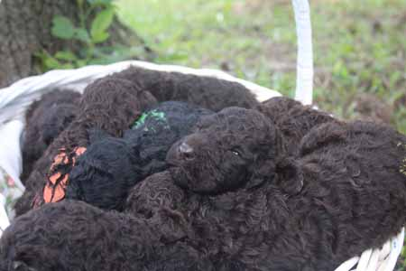 Khalessi and River's Litter – Browns and Black