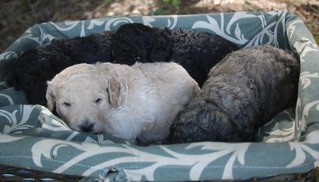 Kodiak and Trey's Litter – Blacks, Cream and Phantom
