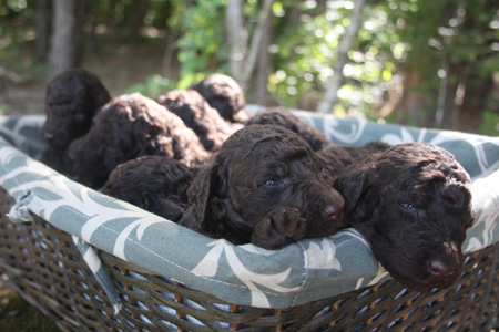Waffles and Durango's Litter – All Browns