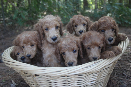 Brandy and Clifford's Litter – All Reds