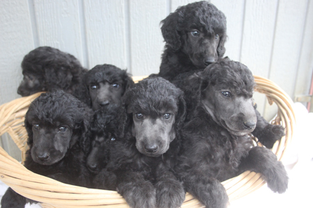 Heritage and Finn's Litter – All Silvers