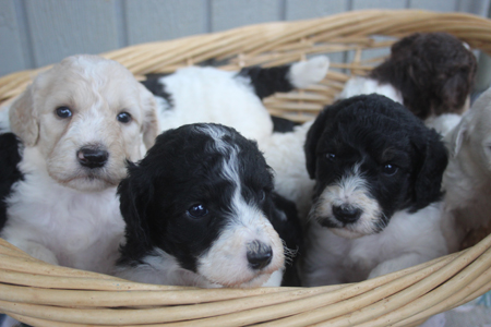 Cookie and Trey's Litter – All Partis