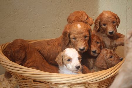 Ginger and Cash's Litter – Reds and Red/White Parti