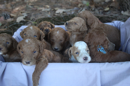 Tulip and Cash's Litter – Reds and Red/White Parti