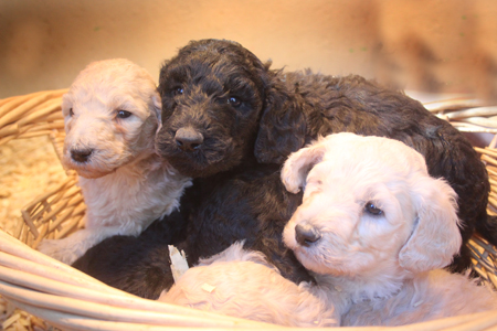 Onyx and Lance's Litter – Blacks and Creams