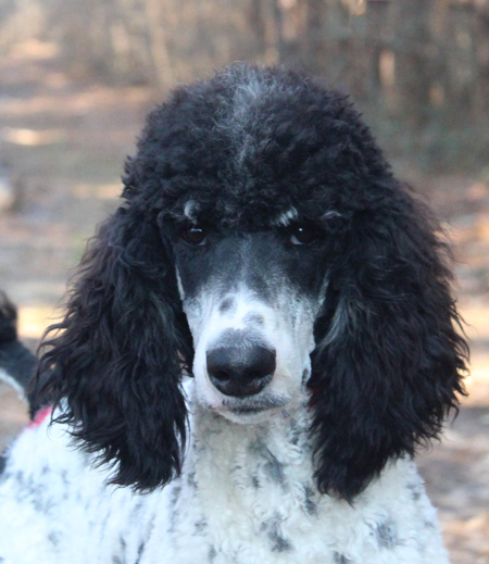 Parti Phantom Standard Poodles And Poodle Puppies For Sale