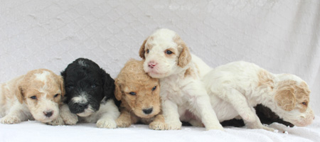 Lucy and Houston's Litter – Partis, Brown and Apricot