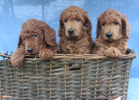 Cherry and Jax's Litter – All Reds