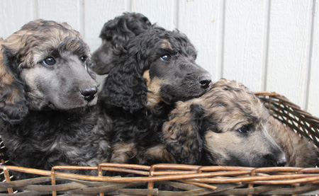 Kali and River's Litter –  Black/Apricot and Black/Sable Phantoms