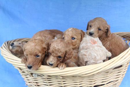 Poppy and Francisco's Litter – Reds, Apricots and Creams