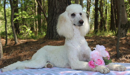 """Chanel's Cream/White Parti Female"" – ""Cinderella"" – Adopted"
