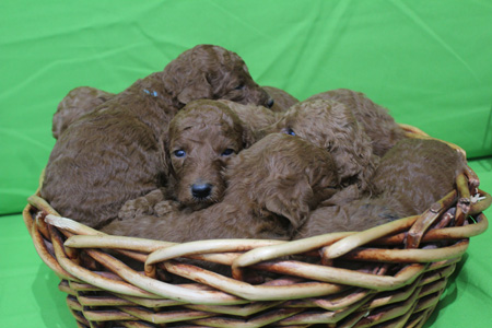 Crimson and Blaze's Litter – All Reds – ALL SOLD