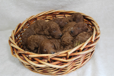 Ruby and Blaze's Litter – All Reds – ALL SOLD