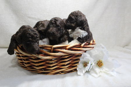 Sienna and Comanche's Litter – Browns, Phantoms and Partis – ALL SOLD