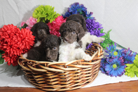 Tabitha and Comanche's Litter – All Partis – ALL SOLD