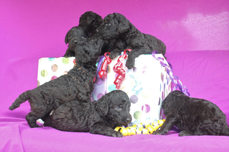 Twilight and Finn's Litter – All Silvers – ALL SOLD