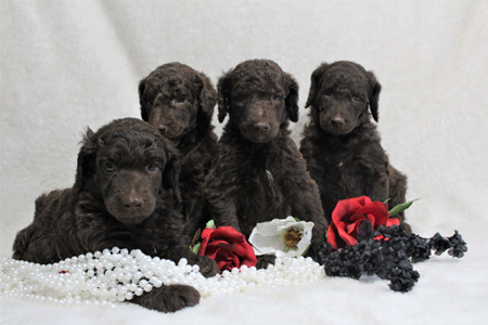 Waffles and Durango's Litter – All Browns – ALL SOLD