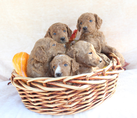 Tulip and Cash's Litter – Reds and Apricots – ALL SOLD
