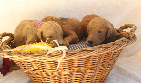 Adeline and Cash's Litter – Reds and Apricots – ALL SOLD