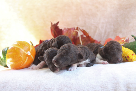 Duchess and Comanche's Litter – All Partis – ALL SOLD