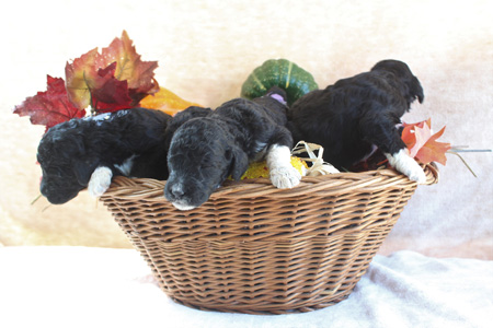 Panda and Comanche's Litter – All Partis