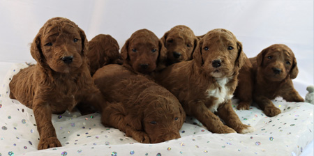 Ruby and Cooper's Litter – Reds and Apricots – ALL SOLD