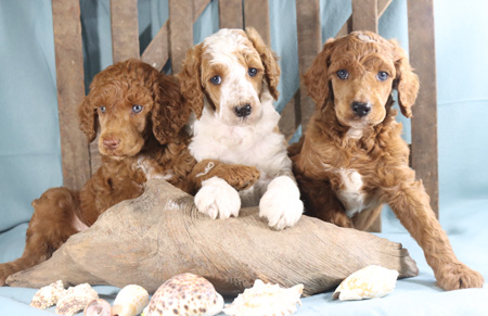 Scarlet and Cooper's Litter – Reds and Parti – ALL SOLD