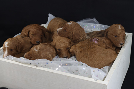 Wilma and Cooper's Litter – Apricots and Red – ALL SOLD