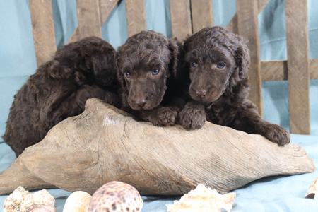 Arya and River's Litter – All Cafe Au Laits – ALL SOLD
