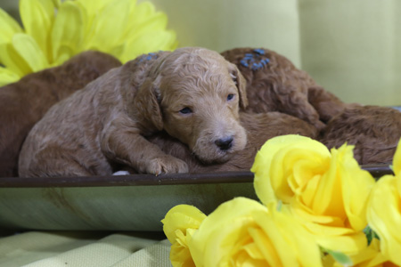 Blanche and Cash's Litter – Reds and Apricots