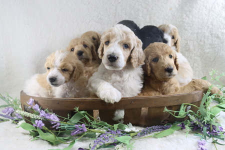 Charli and Cash's Litter – Blacks, Creams and Partis