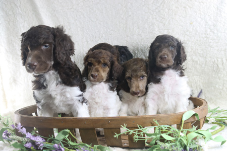 Duchess' and Trey's Litter – All Partis – ALL SOLD
