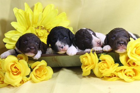 Fern and Houston's Litter – All Partis – ALL SOLD