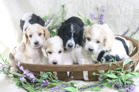 Panda and Houston's Litter – All Partis – ALL SOLD