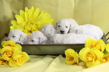 Tiara and Falkor's Litter – All Whites – ALL SOLD