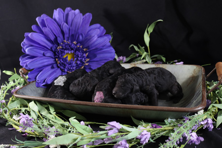 Willow and Finn's Litter – All Silvers – ALL SOLD