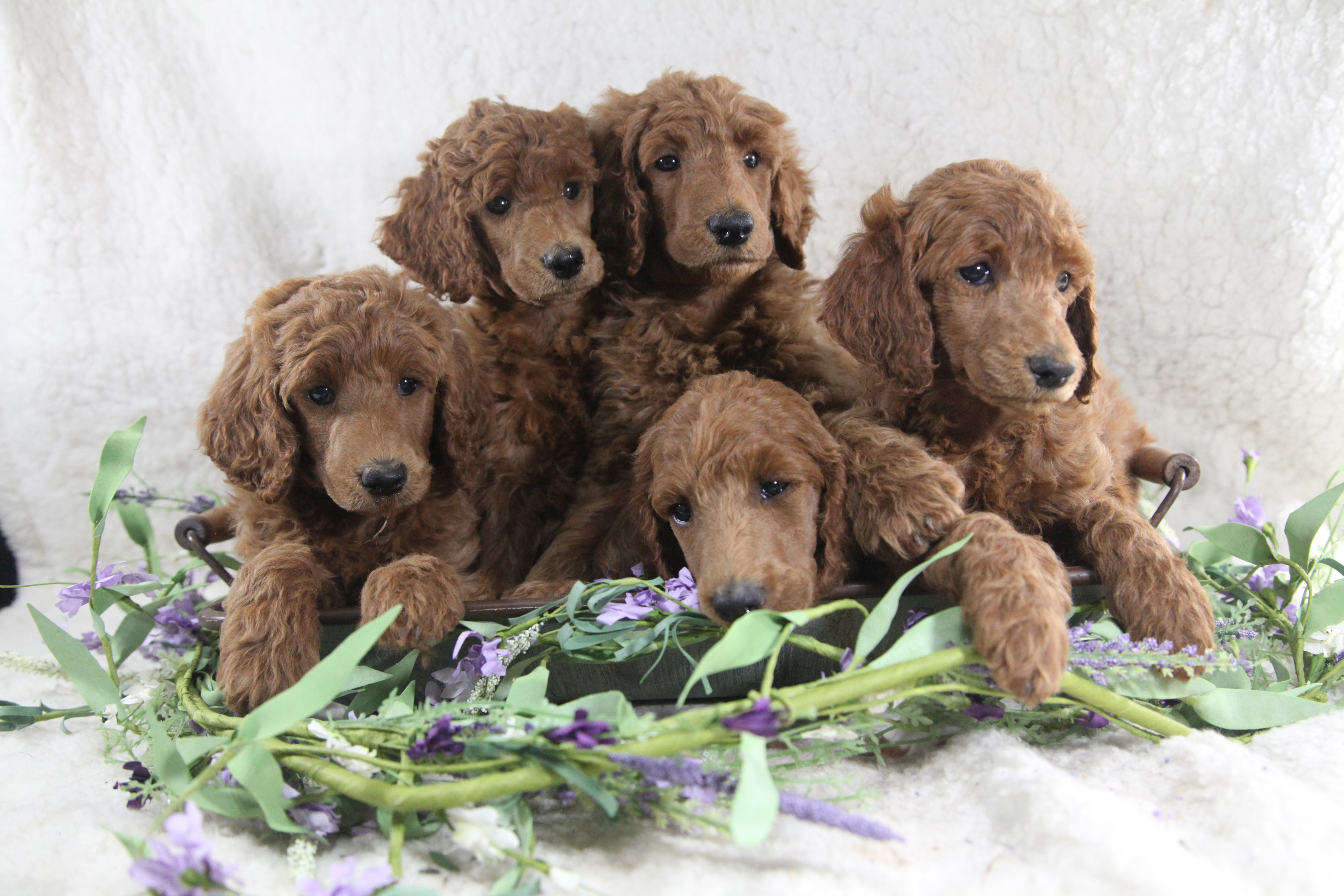 Adeline and Ringo's Litter – ALL SOLD