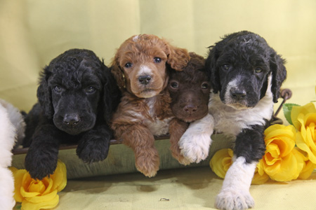 Armani and Cooper's Litter – Partis, Black and Brown – ALL SOLD