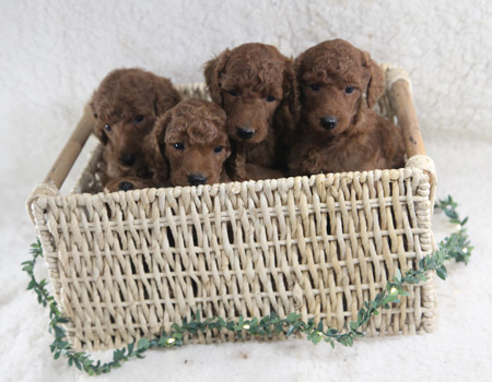 Bri and Ringo's Litter – All Reds – ALL SOLD