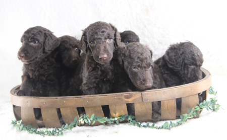 Deja and Durango's Litter – All Browns – ALL SOLD