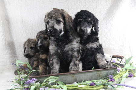 Kali and River's Litter – Phantoms and Sables – ALL SOLD