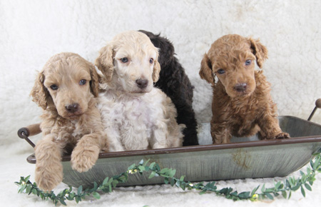 Karma and Jax's Litter – Reds, Creams and Browns – ALL SOLD