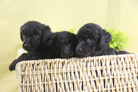 Bianca and Finn's Litter – All Greys – ALL SOLD