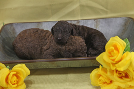 Waffles and Memphis' Litter – Phantom and Brown – ALL SOLD