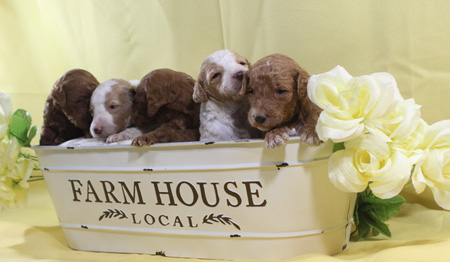 Adele and Cash's Litter – Reds, Apricots, Partis