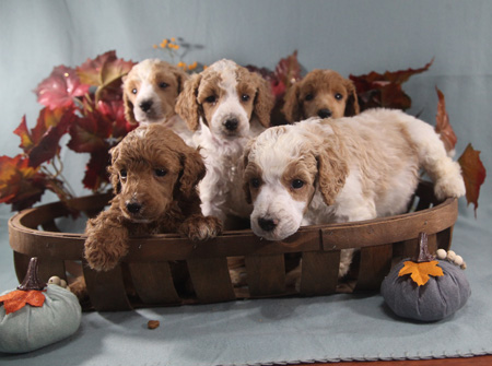 Tulip and Cash's Litter – Reds, Apricots and Partis