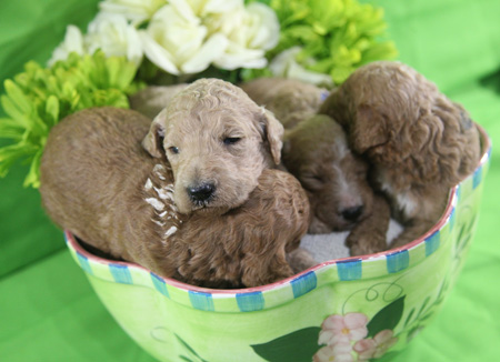 Izzy and Cash's Litter – Apricots, Reds, Partis and Cream